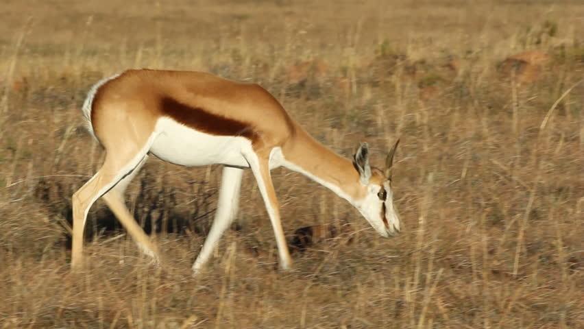 A Springbok Antelope (Antidorcas Marsupialis) Walking In ...