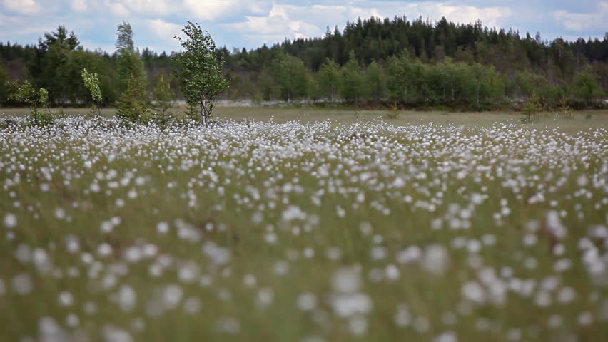 Header of cottongrass