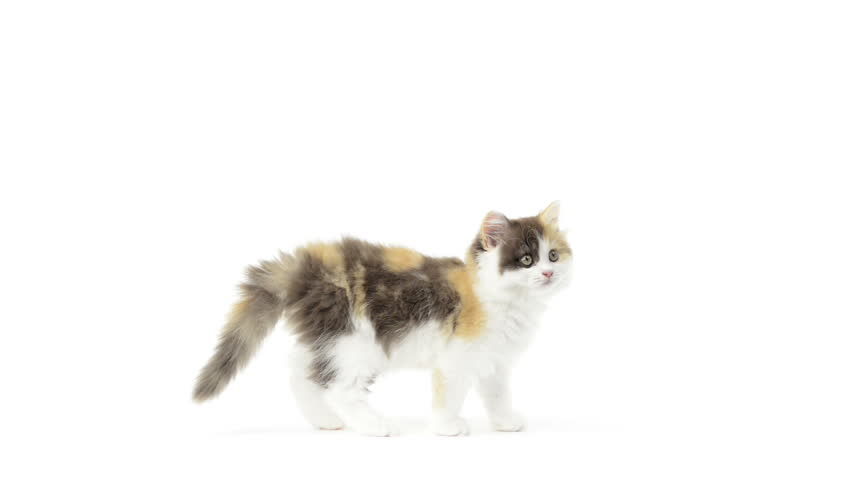 Long Haired Breed Of Cat Crossword