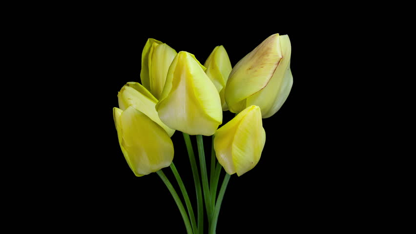 Timelapse Of A Bunch Of Yellow Tulip Flowers Blooming On