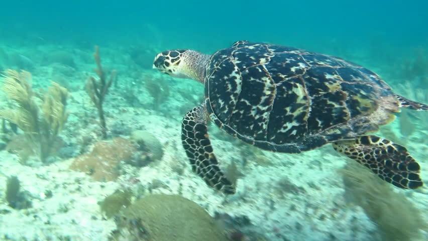 hawksbill sea turtle, caribbean. - HD stock footage clip