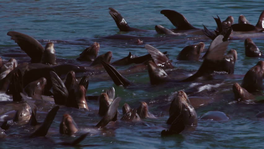 Stellar Sea Lions drifting together and basking in the sun