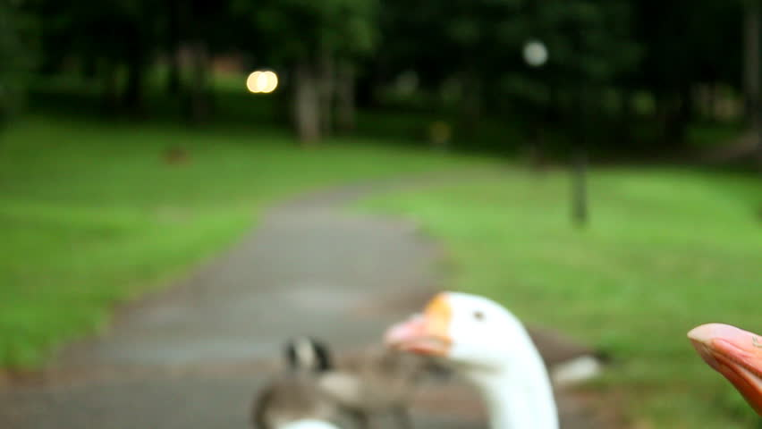 Close up of a man's hand feeding White Chinese Geese - HD stock footage clip