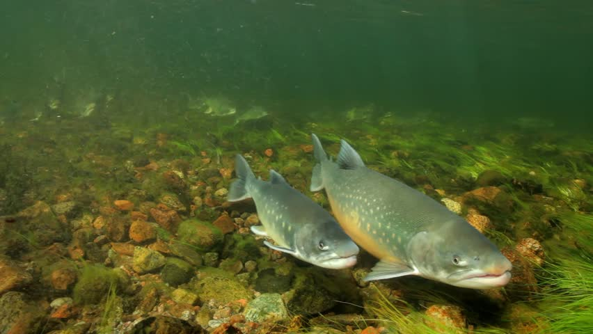 Underwater footage of arctic char (Salvelinus alpinus) in clear water river, Greenland (stabilized)