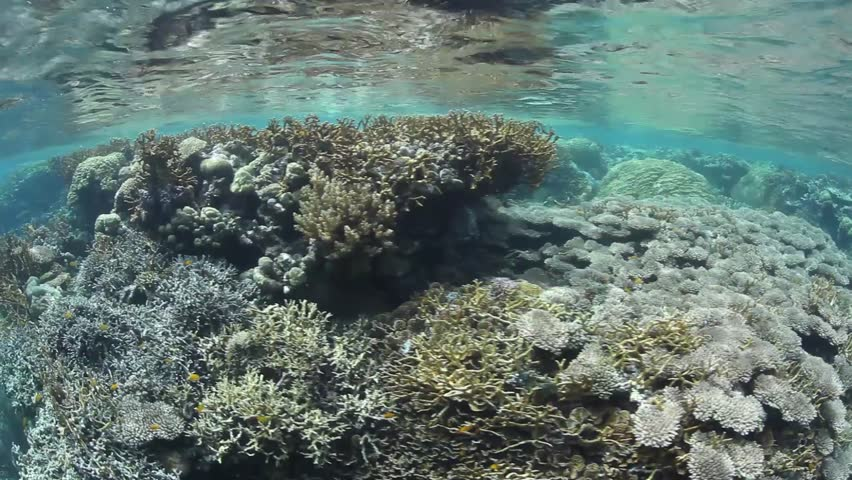 A plethora of reef-building corals grow in shallow water in the Solomon Islands. This region is known for its spectacular marine diversity.