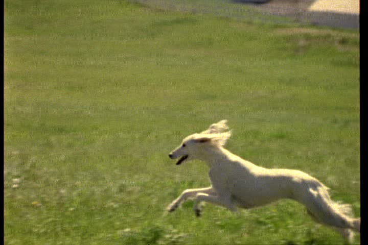 MS Saluki Running Over Grass In Slow Motion Stock Footage ...