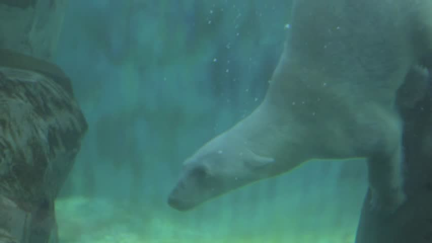 polar bear at the zoo in slow motion