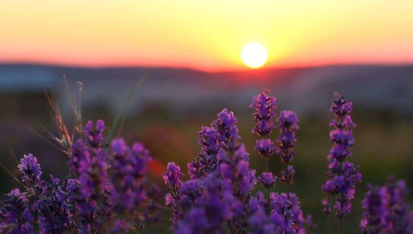 Closeup of lavender plants in a field at sunset #4420466