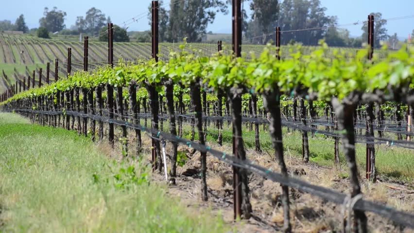 Grapevines in a Row blowing in the Wind - HD stock video clip