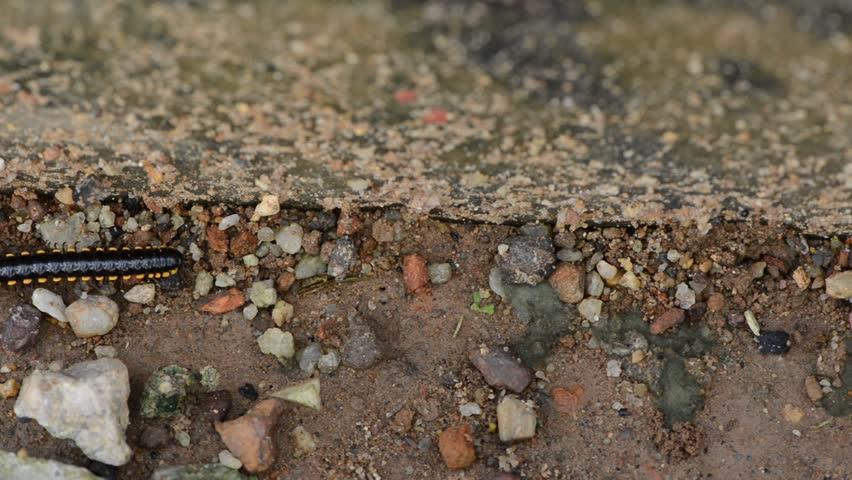 Millipede walking on soil - HD stock footage clip