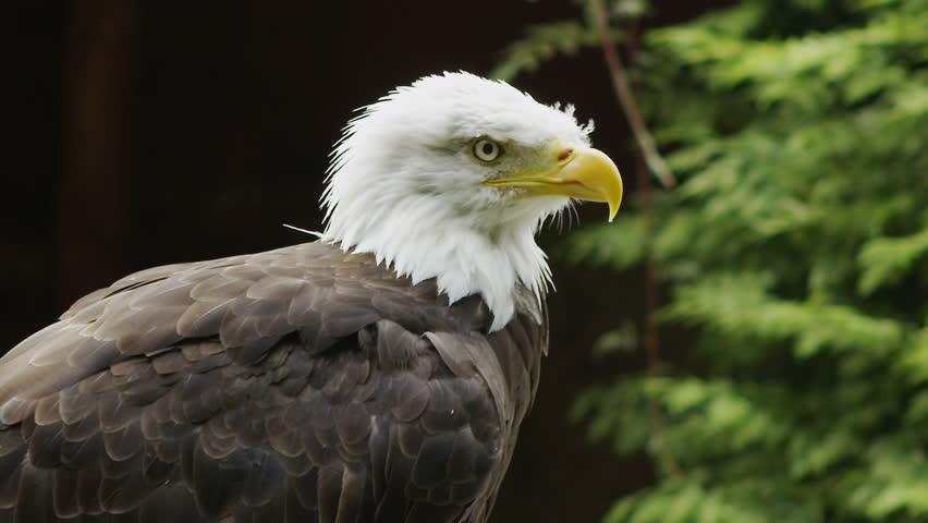USA American Bald Eagle