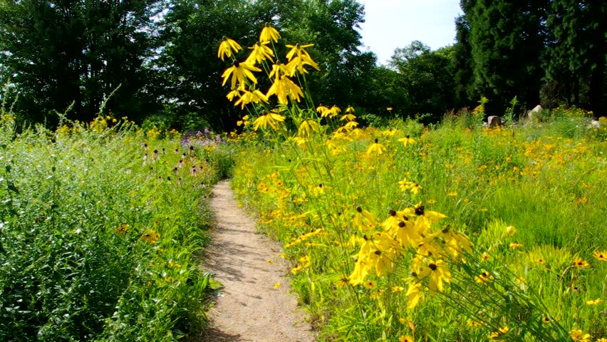 black-eyed Susan meadow - HD stock video clip
