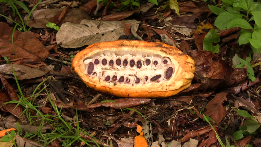 Sectioned cocoa pod showing cocoa beans inside - HD stock video clip