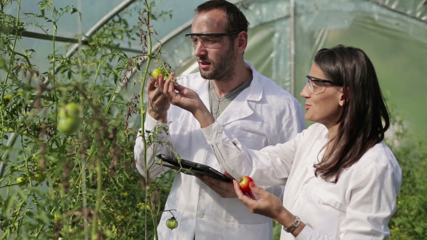 Scientists examine tomato plant in greenhouse