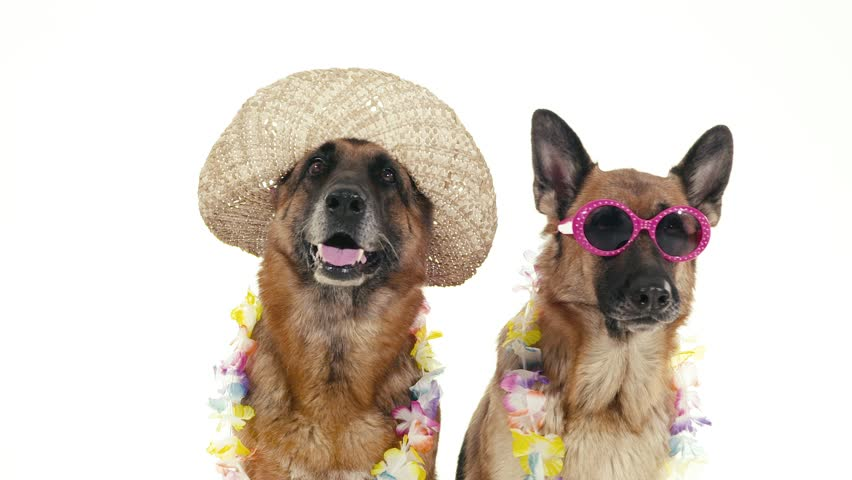 Pets, animals and behavior, two funny pedigreed german shepherd dogs with hat and sunglasses. Studio shot, white background. Part 9 of 14 | Shutterstock HD Video #4576841