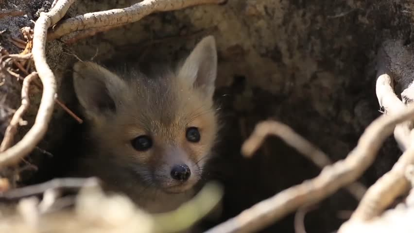 Cute curious young red fox kit pup emerges from his den home.  Adorable puppy eyes and ears are focused on the camera.  Hidden underground he comes out to see the world on a spring morning.