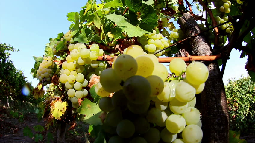 Sweet and flavourful grapes before harvest - HD stock video clip