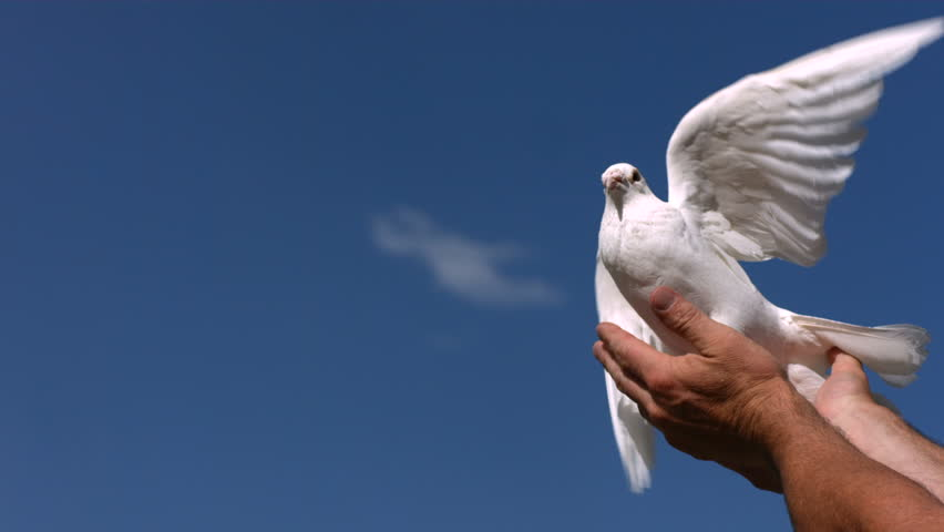 Dove is released into sky, slow motion