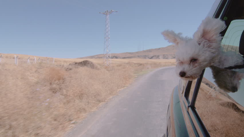 Wide shot of a puppy wandering arround from the window of a moving car. | Shutterstock HD Video #4682564