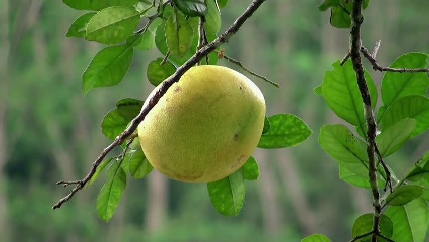 Ripe grapefruit on the tree
