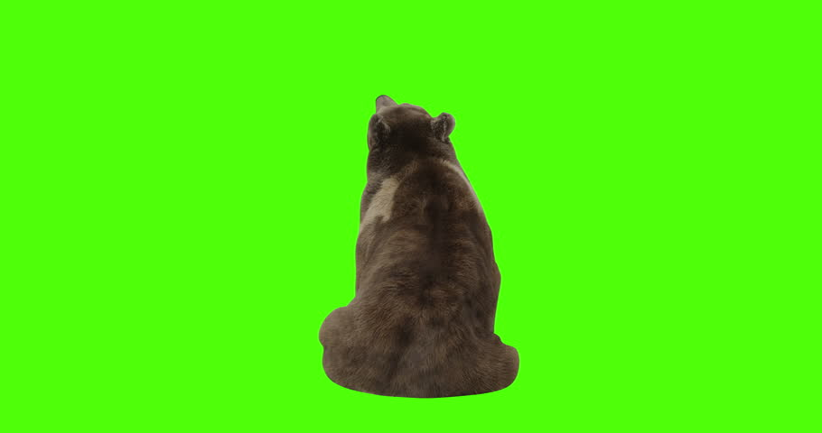 Bear sitting and looking up on green screen. Shot from behind with Red Camera. 4k video ready to be keyed.