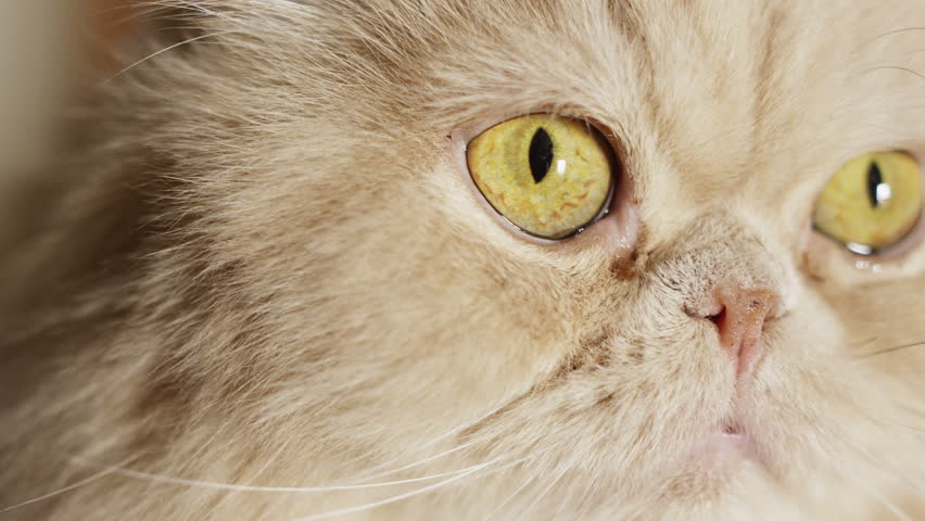 4k closeup shot of a fat yellow cat. Shot with Red Epic camera.