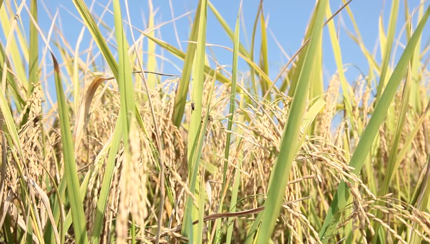 how to grow rice at home video