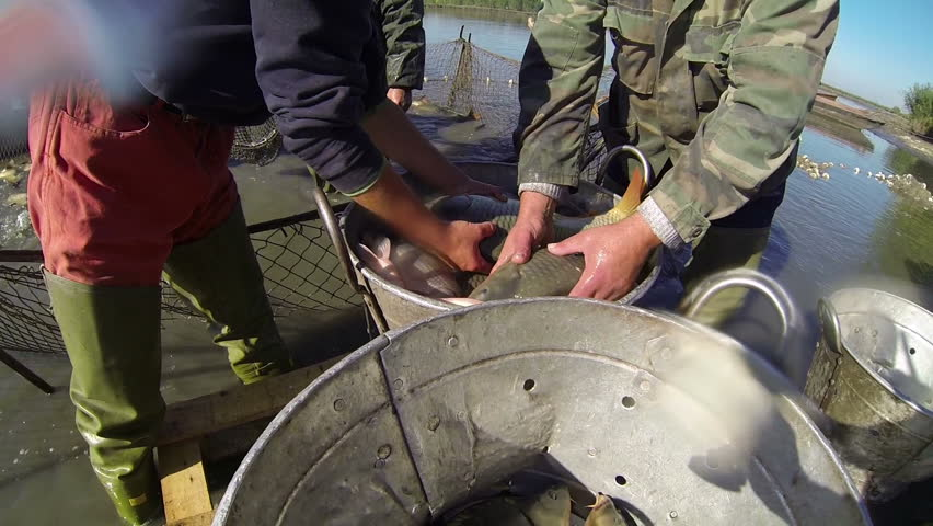 Fishermen Sorting Fishes. Harvesting fish at fish farm.