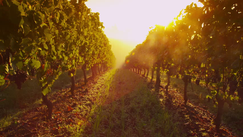 Rows of pinot noir grapes ready to be picked in vineyard at sunrise