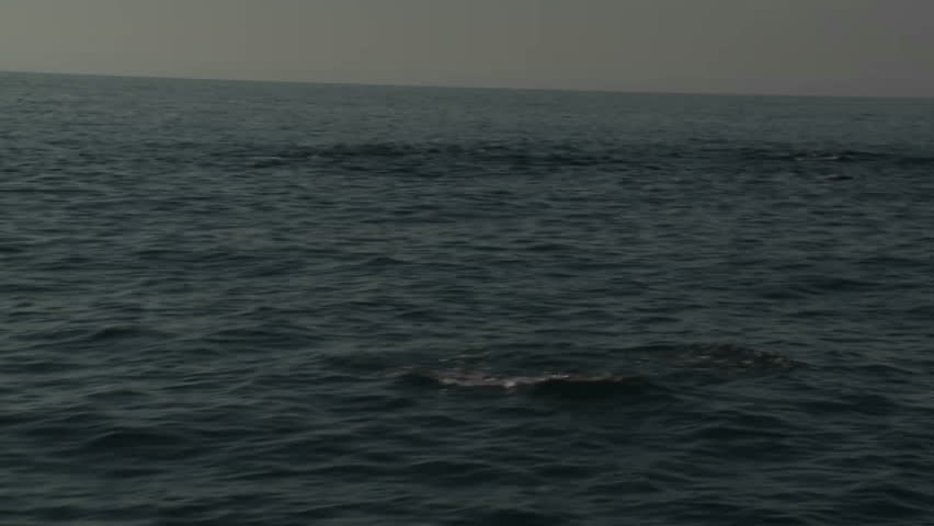 A pod of dolphins play in the water alongside a boat.
