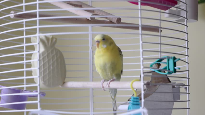 Domestic caged yellow budgie parrot.