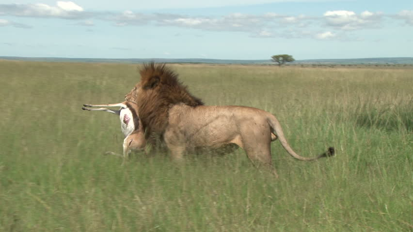 a lion carrying a Thomson gazelle in the mouth