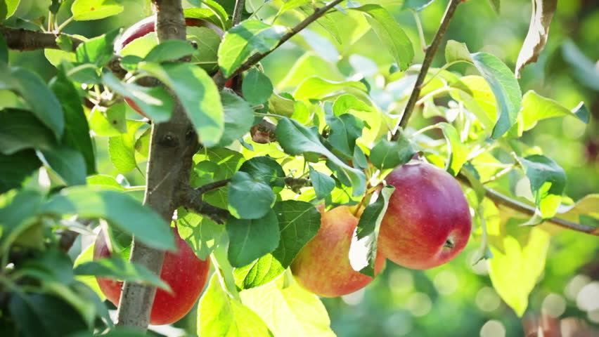 Picking apple. Farmer at work, in his apple Modi orchard - HD stock video clip