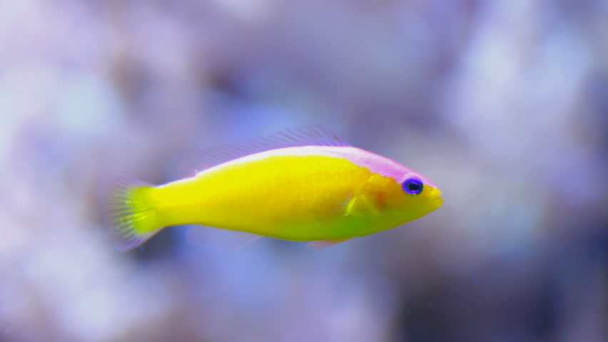 Tropical fish swimming shallow depth of field stock for Fish swimming video