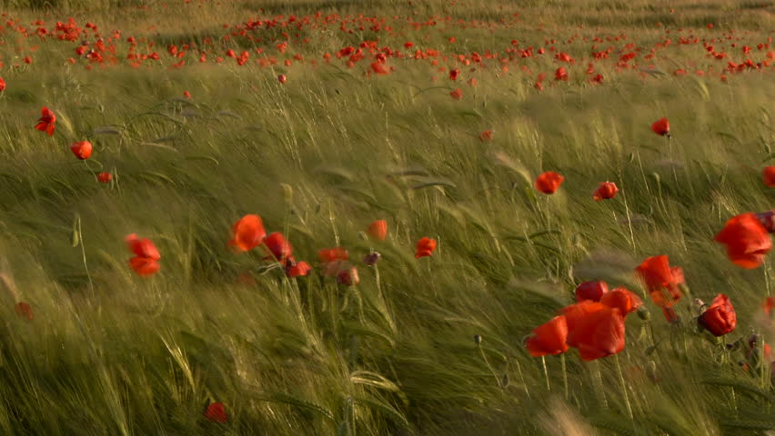 poppies among cereals - HD stock footage clip