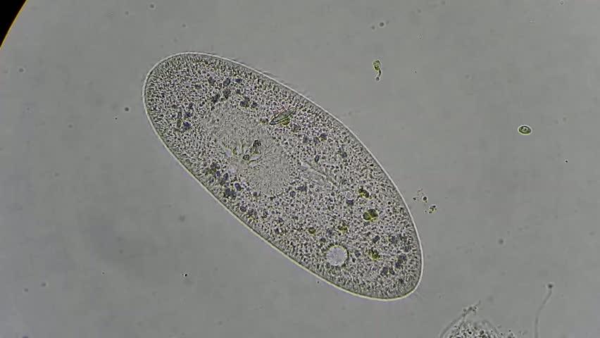 Paramecium Caudatum Under A Microscope Paramecium Caudatum - ...