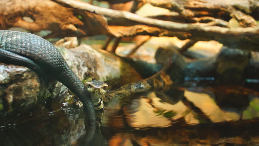 the description of the water moccasin aka moccasin snake Feeding cottonmouth snake aka water moccasin texasreptilezoo  (please read the description) - duration:  cottonmouth aka water moccasin.