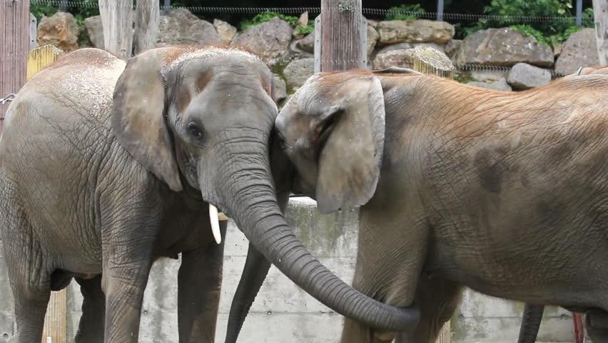 Animal struggle, two elephants fight in zoo park