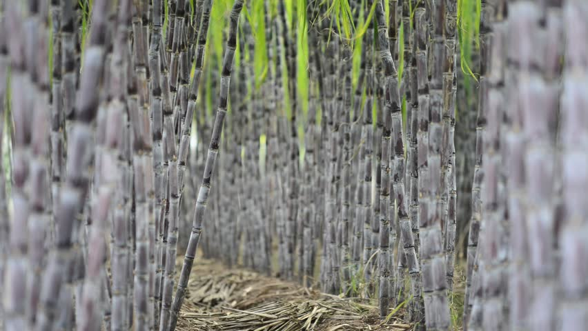 Sugar Cane Plantation - HD stock footage clip