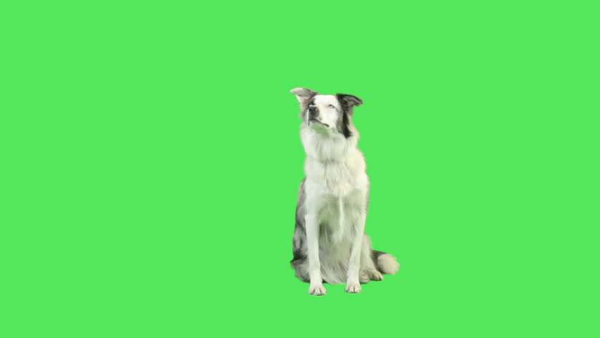 Cute Talking dog in green screen studio  | Shutterstock HD Video #5018579