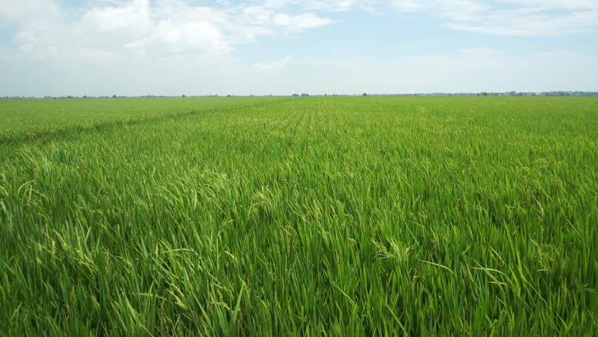 Paddy field under blue sky - HD stock video clip