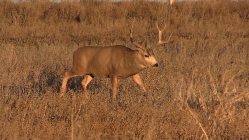 Mule Deer Buck   Shutterstock HD Video #5032889