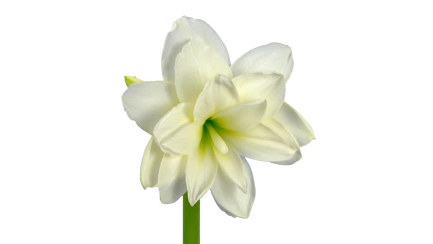 Time-lapse of opening white amaryllis Christmas flower 13b1 in PNG+ format with ALPHA transparency channel isolated on white background