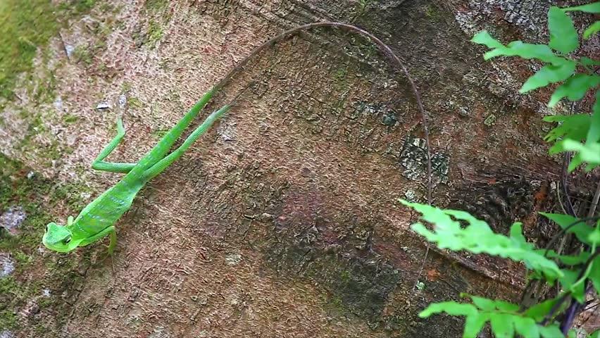 Header of Agamid Lizard