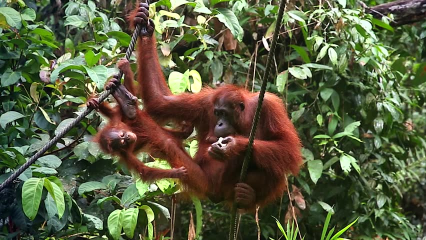 A wild Endangered female Orangutan (Pongo pygmaeus) and her baby play and eat in a tree in the jungles of Malaysia, Borneo. Semenggoh Nature Reserve rehabilitates the wild apes in open forest. - HD stock footage clip