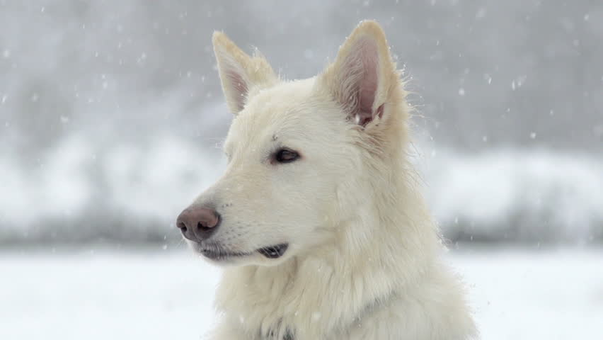 Spectacular Slow Motion Close-Up Of White Swiss Shepherd Dog And The Falling Snow | Shutterstock HD Video #5044328