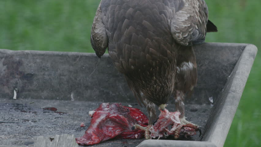 Eagle eating meat - photo#13