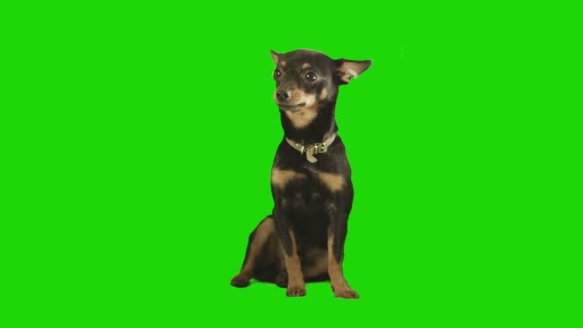 Pack of two. Black small dog sits and looks arround excited on green screen. Shot with Red camera. Ready to be keyed.  - HD stock footage clip