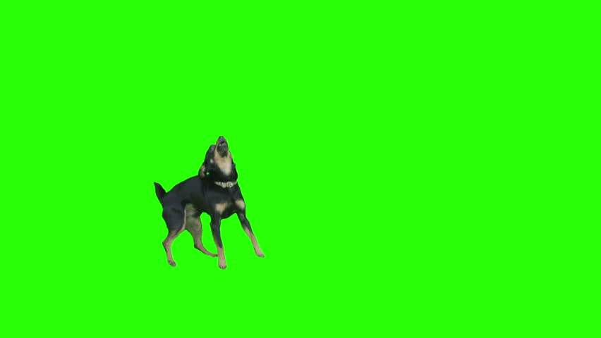 Pack of two. Black small dog exits frame jumping arround excited on green screen. Shot with Red camera. Ready to be keyed.  - HD stock video clip