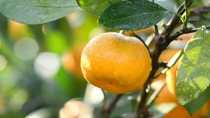 orange on the tree